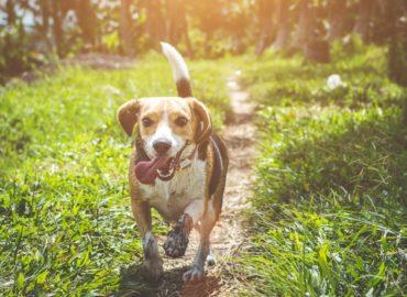 dog running through a field