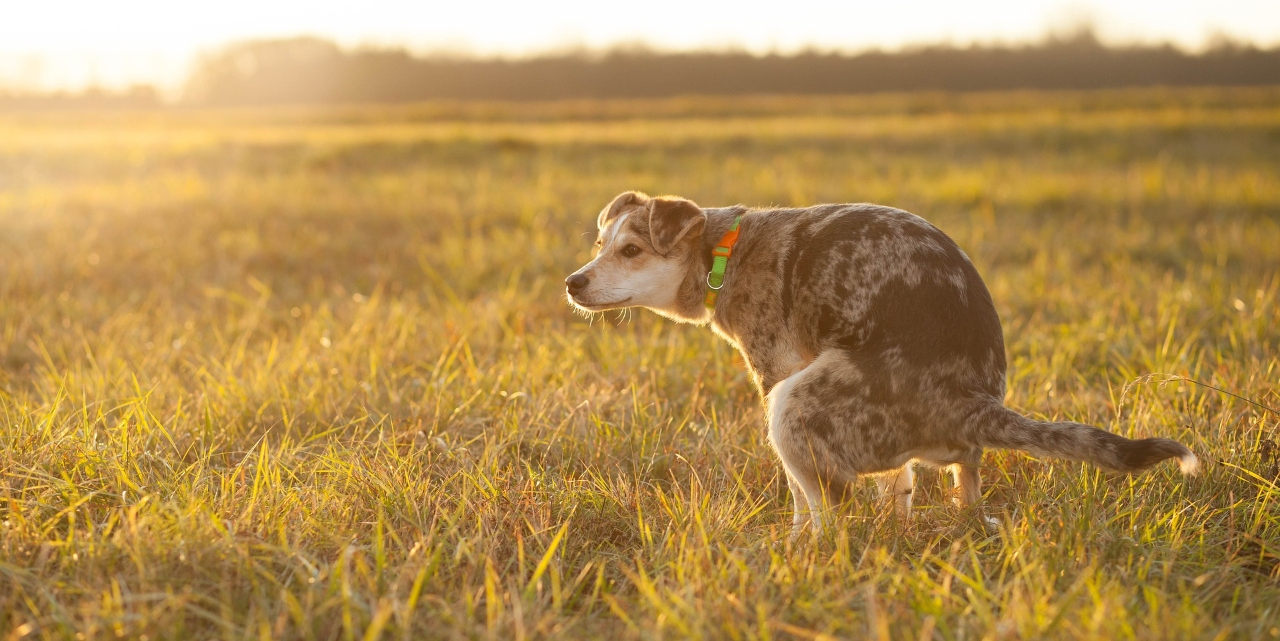 dog pooing in a field