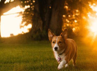 dog running in the sun