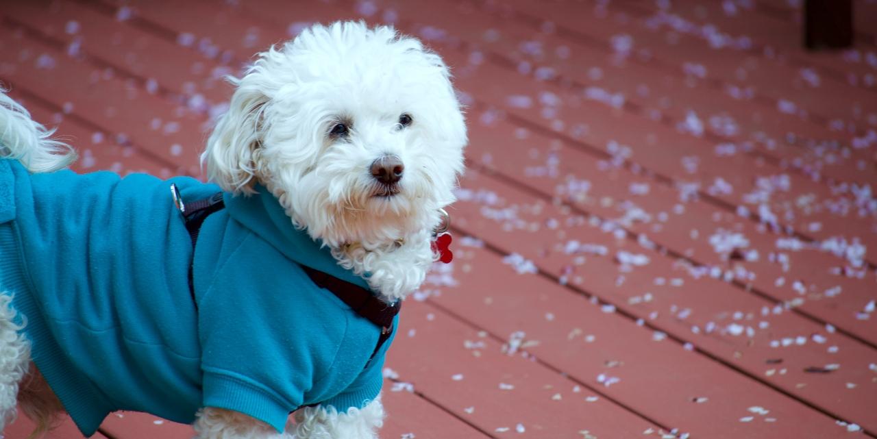 dog wearing a coat