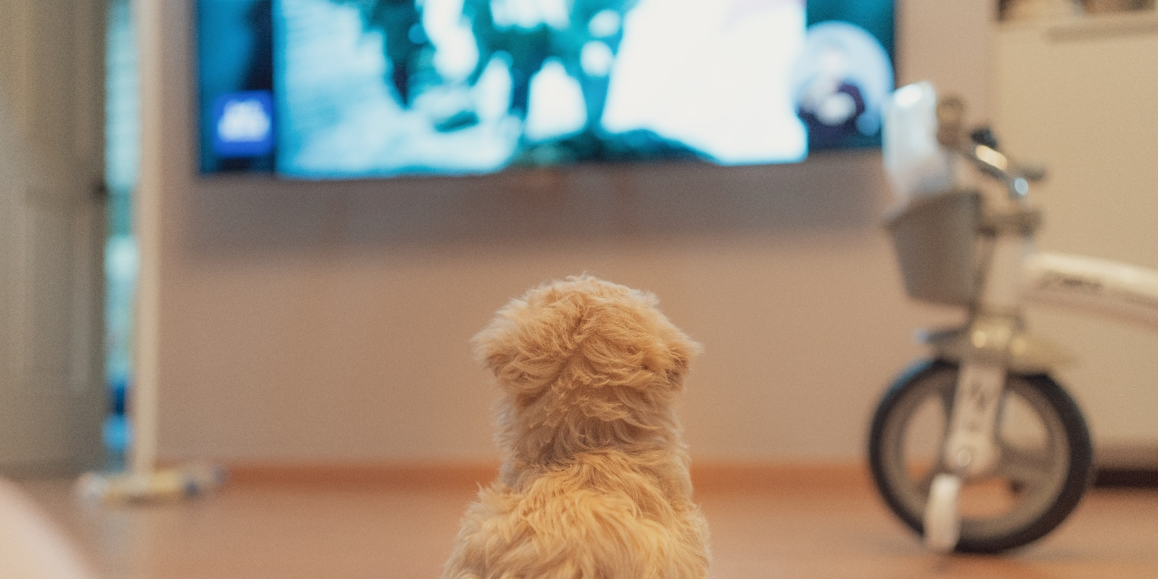 small dog watching a tv